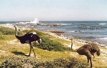 English: Ostriches at the Cape of Good Hope, S...
