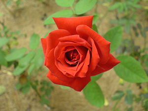 Photograph of a rose.