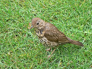 English: Song Thrush at Carreg Dhu gardens, St...