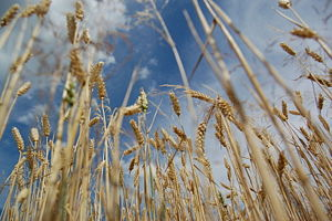 English: Picture of wheat from Czech republik