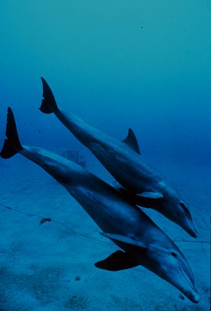A mother and juvenile Bottlenose Dolphin head ...