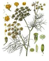 Foeniculum vulgare - Köhler–s Medizinal-Pflanzen-148.jpg