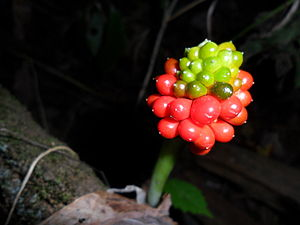 English: Jack-in-the-pulpit seed berries