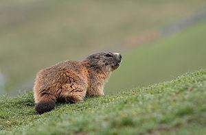 English: Marmot, on GR10 hiking path side, nea...