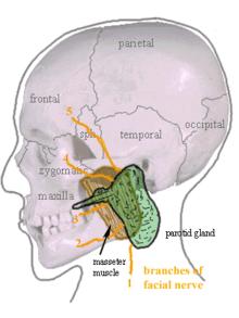 """Résultat de recherche d'images pour """"parotide anatomie"""""""