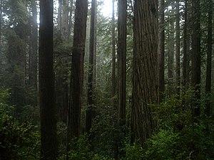 Coast Redwood temperate rainforest of Prairie ...