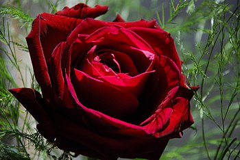 Red Rose, image compressed