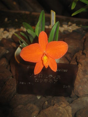 ;Scientific name: Sophronitis coccinea Place:O...