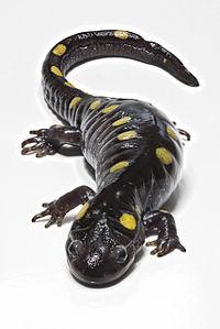 Salamander totol,  Ambystoma maculatum