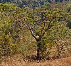 Pohon pilang, Acacia leucophloea di savana perbukitan SoE, NTT