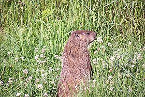 Groundhog Standing1