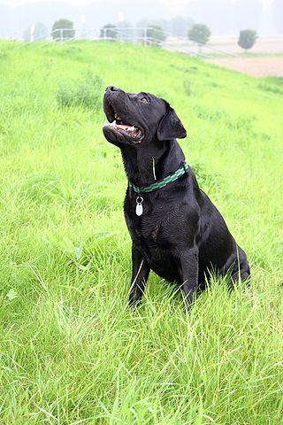https://i1.wp.com/upload.wikimedia.org/wikipedia/commons/thumb/b/b3/Labrador_Quax.JPG/320px-Labrador_Quax.JPG
