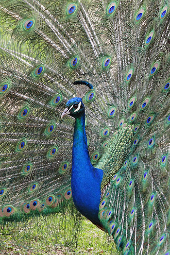 https://i1.wp.com/upload.wikimedia.org/wikipedia/commons/thumb/b/b3/Peacock_front02_-_melbourne_zoo.jpg/350px-Peacock_front02_-_melbourne_zoo.jpg?w=640