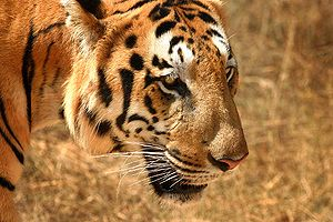 Tiger in South India