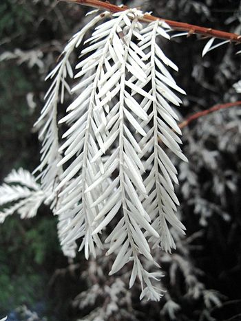 A branch from an 'albino' Sequoia sempervirens...
