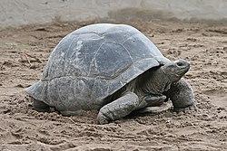 Aldabra Giant Tortoise Geochelone gigantea edit1.jpg
