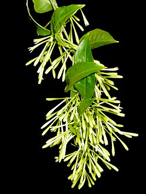 Night-blooming jasmine Cestrum nocturnum