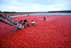 Cranberry harvest in New Jersey.