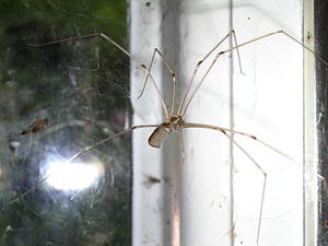 The Daddy long-legs spider, also called the Gr...