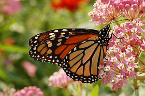 Monarch Butterfly Danaus plexippus Milkweed
