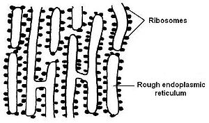 English: Diagram of rough endoplasmic reticulu...