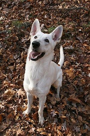 English: A one-year-old White German Shepherd ...