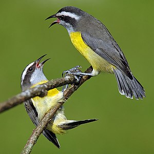 Bananaquits, locally common in wetter areas.
