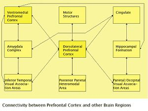 Connectivity between prefrontal cortex and oth...
