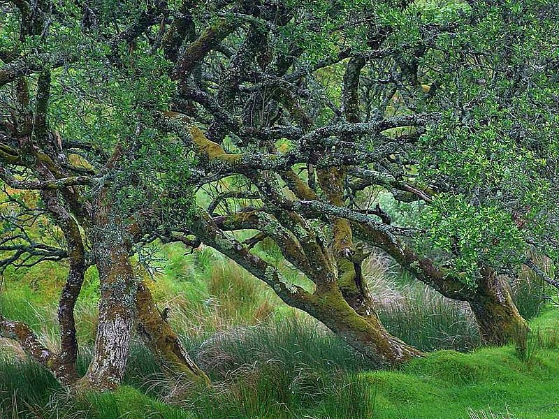 File:Glengesh pass in Ireland old tree.jpg
