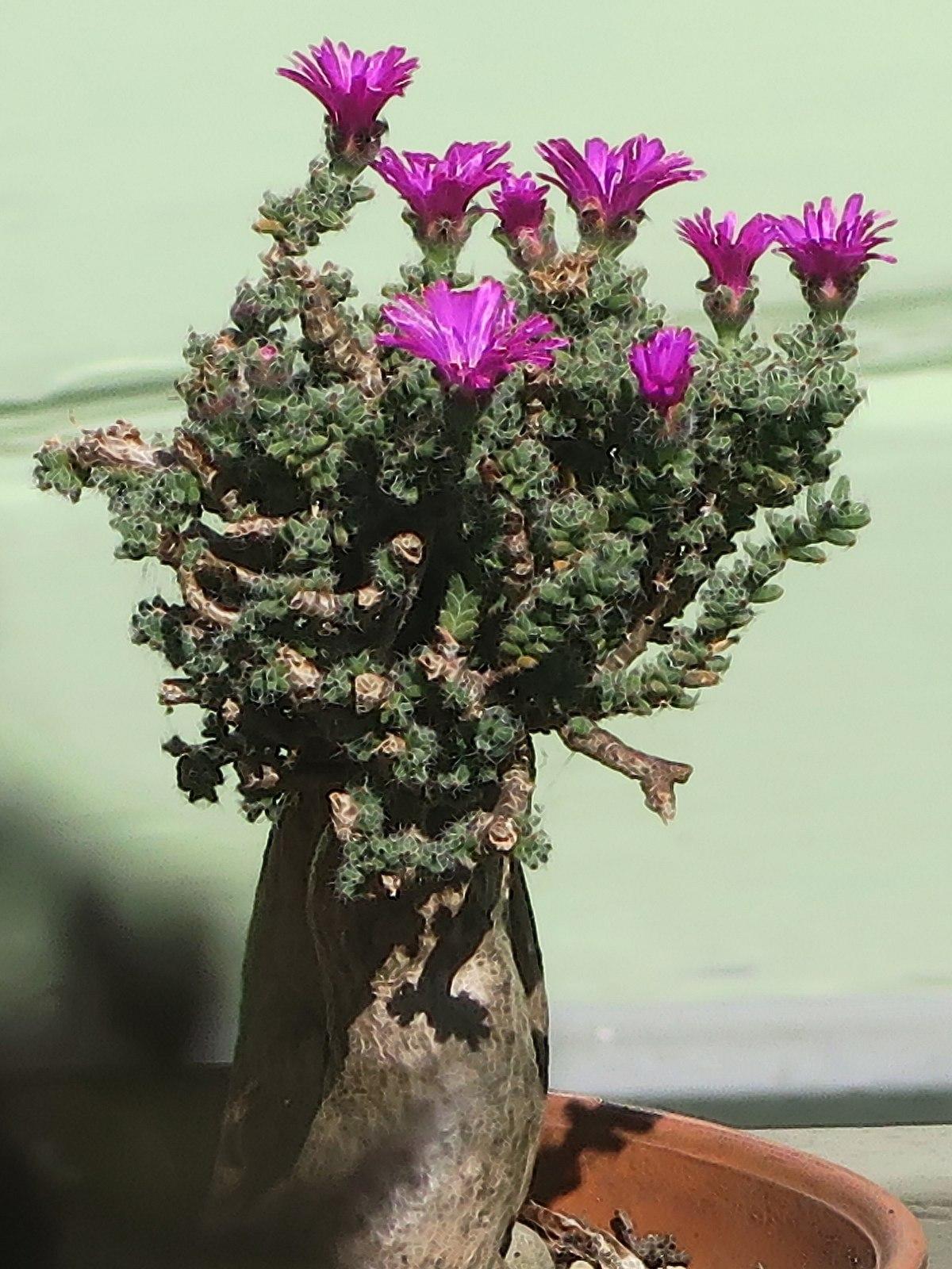 Trichodiadema Bulbosum Wikipedia
