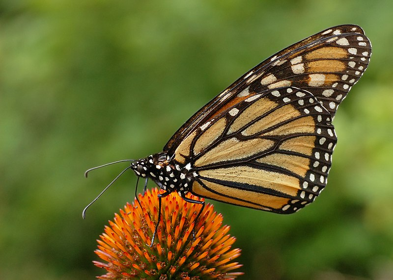 File:Monarch Butterfly Danaus plexippus on Echinacea purpurea 2800px.jpg