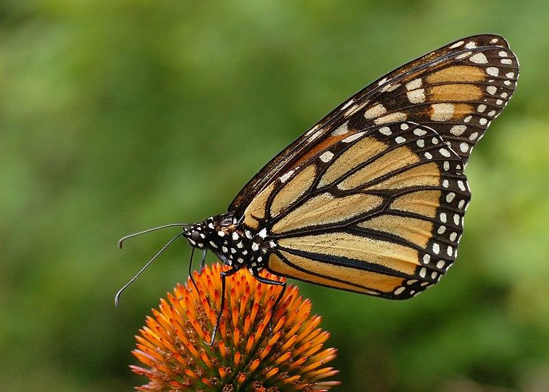 File:Monarch Butterfly Danaus plexippus on Echinacea purpurea 2800px.jpg