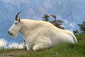 https://i1.wp.com/upload.wikimedia.org/wikipedia/commons/thumb/b/b5/Mountain_Goat_USFWS.jpg/290px-Mountain_Goat_USFWS.jpg