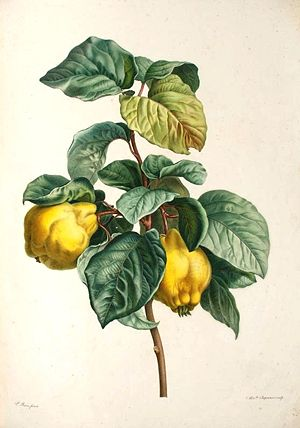 Painting of quince fruit and foliage
