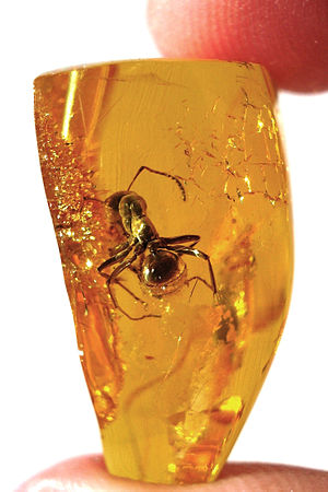 English: Baltic amber inclusions - Ant - About...