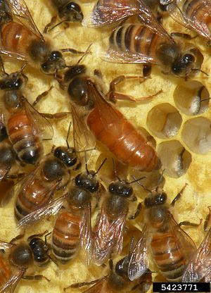 English: Apis mellifera - queen and worker bees