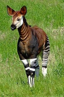 Okapia johnstoni -Marwell Wildlife, Hampshire, England-8a.jpg