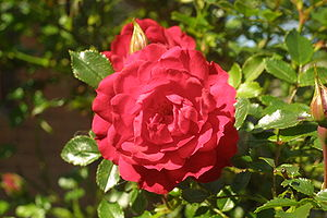 English: A small red rose, taken in my back ga...