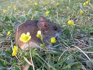 Tiny mouse frozen in fear in the Himalayas