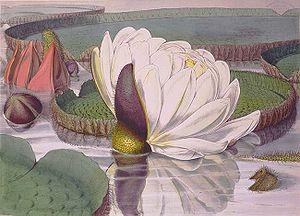 """""""Victoria regia – Opening Flower"""" Ch..."""