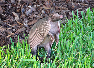Armadillo playing in the grass in Palm Coast, FL