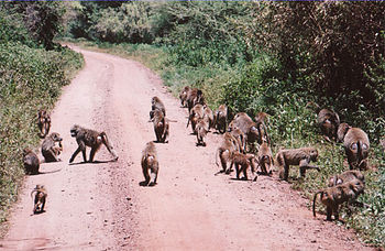 English: A troop of baboons on a road in Tanza...