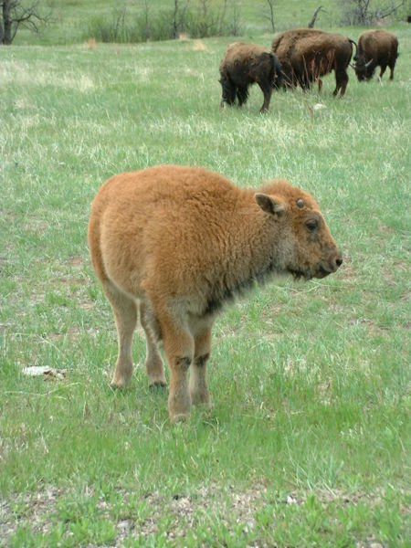 Bison1-Custer State Park-SD.jpg