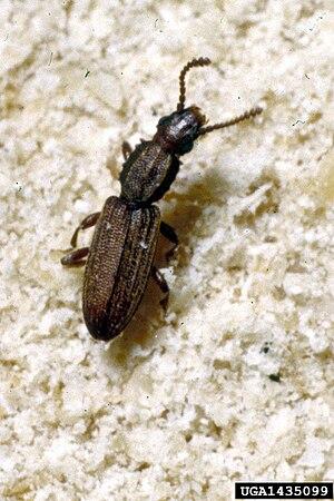 English: sawtoothed grain beetle Oryzaephilus ...