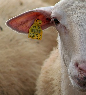 Cropped close-up of a Maltese sheep's face (wi...