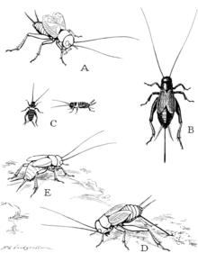 The common black cricket, Gryllus assimilis
