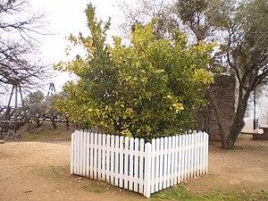 English: The Mother Orange Tree, the oldest li...
