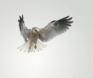 Juvenile White-tailed Kite (Elanus leucurus). ...