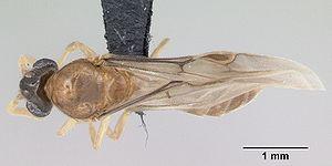 Dorsal view of ant Adetomyrma venatrix specime...