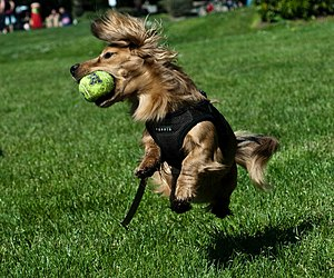 A Dachshund jumps up to a catch a tennis ball.